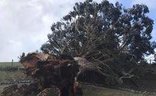 El eucalipto centenario de Argoños resurge convertido en obra de arte