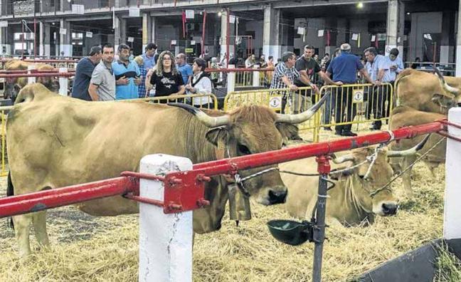 Una ganadería de Guriezo se impone en el regional de la raza asturiana