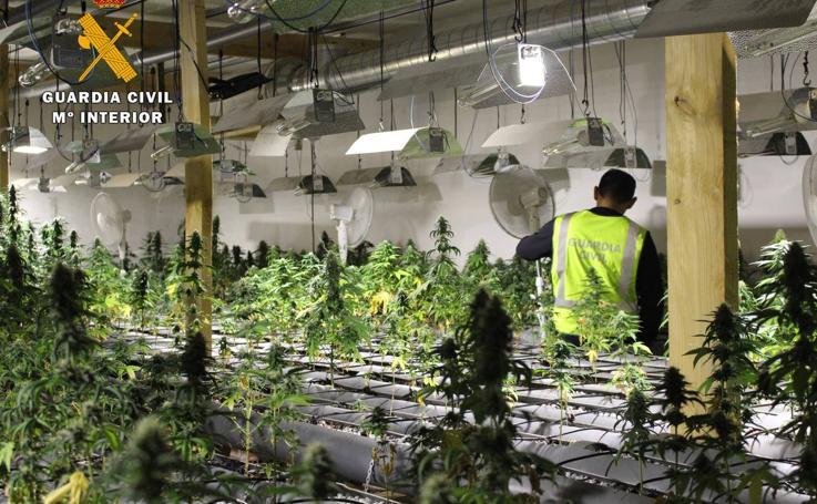Desmantelada en Camargo la mayor plantación de marihuana localizada en Cantabria