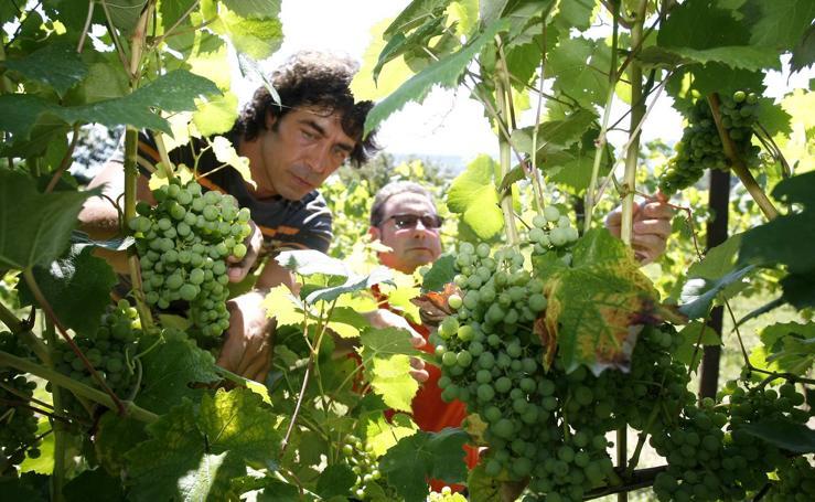 Recuperación del cultivo de la vid en Cantabria