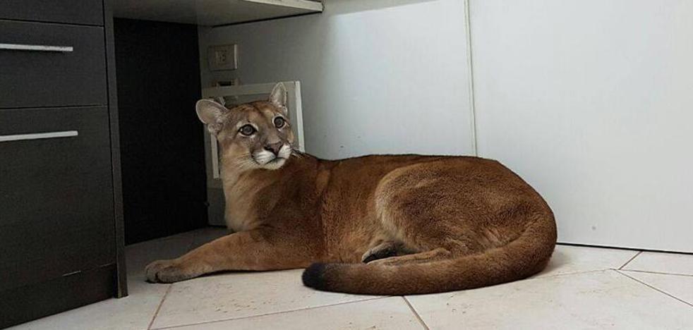 Un puma salvaje se cuela en una oficina cerca de Sao Paulo