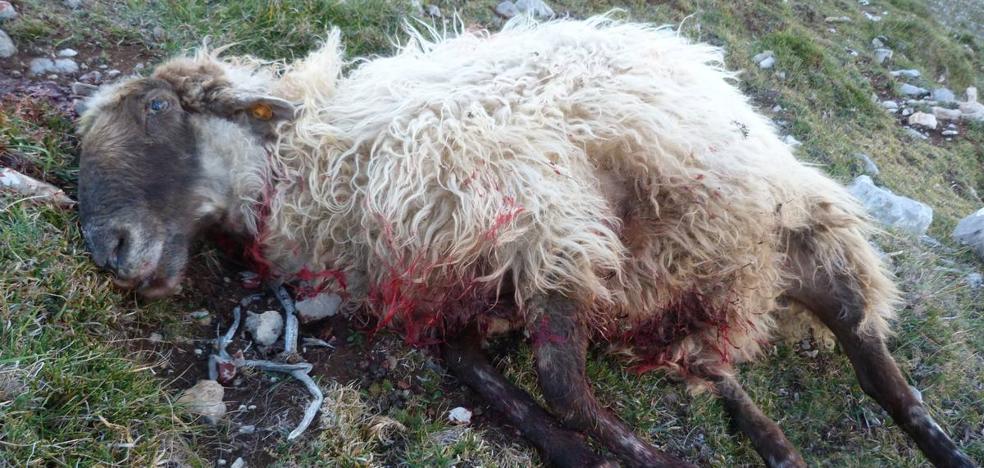 Un ganadero de Campoo ha perdido este año 250 ovejas por los ataques de lobos