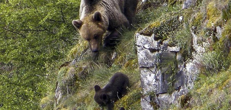 El oso pardo se afianza en la Cordillera Cantábrica