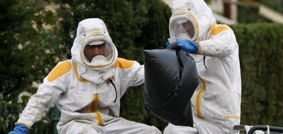 La invasión de la avispa asiática obliga a adoptar medidas especiales