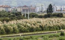 El plumero «coloniza» Cantabria, que aún no ha aprobado el plan de erradicación