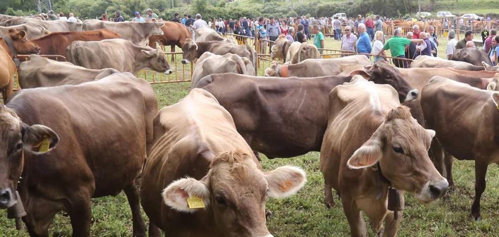 Más de 1.200 cabezas de ganado estarán éste sábado en la XI Feria de Liérganes