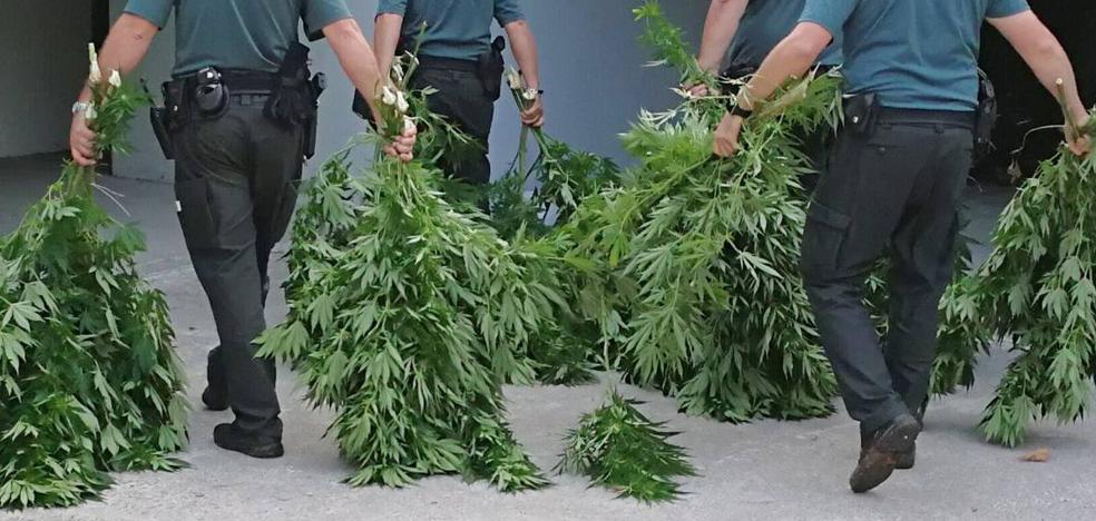 Intervienen 44 kilos de marihuana en plantaciones de Boo y Liaño