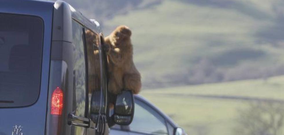 Los monos de Cabárceno se van de juerga