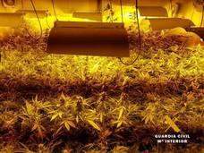 Intervenidas casi 800 plantas de marihuana en una plantación dentro de un garaje de Heras