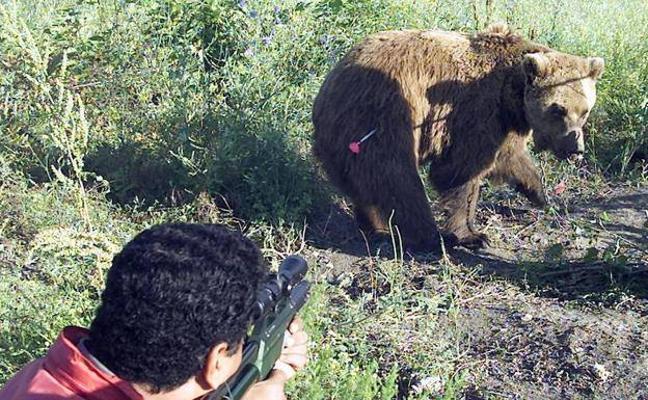 Disparan a un oso durante una cacería de jabalí en Palencia