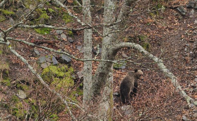 Un dispositivo de búsqueda trata de capturar a un oso herido en Liébana