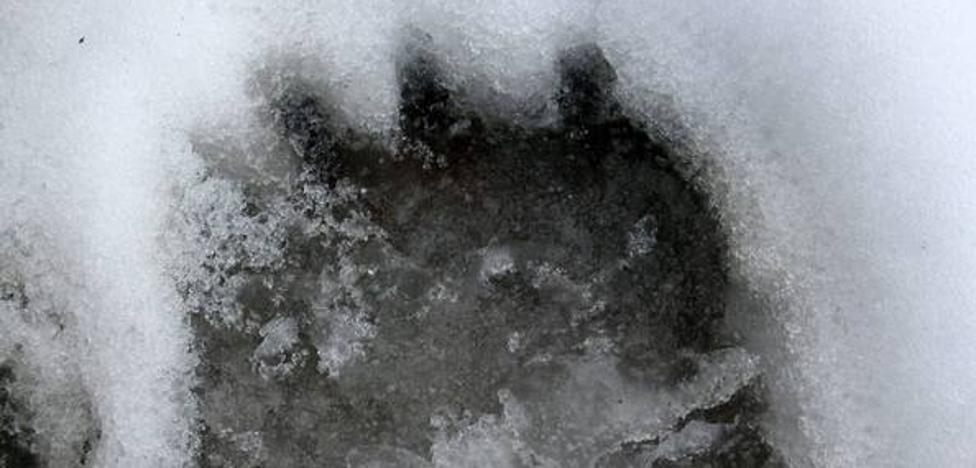 Los osos se acercan a Valdeolea