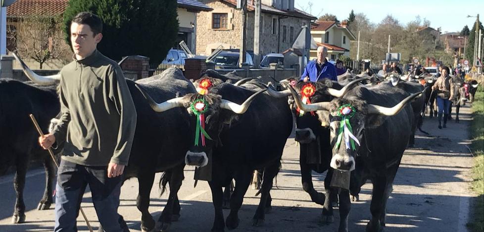 Las tudancas se pasean por Ibio en la Feria de la Inmaculada