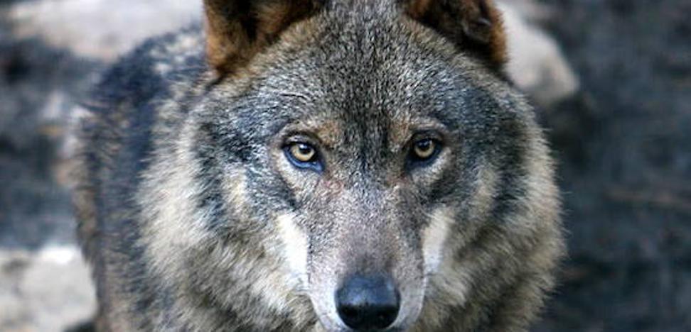 El último censo establece en Cantabria 12 manadas de lobos