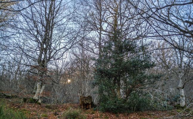 La paradoja de un árbol llamado acebo