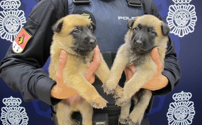 Los estudiantes de Santander y Torrelavega podrán elegir el nombre de dos futuros perros policía