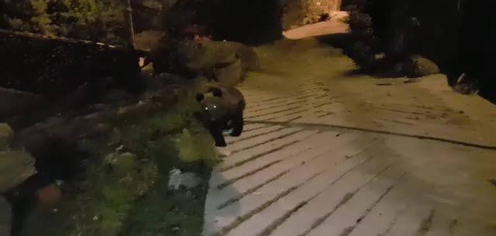 El Gobierno de Cantabria asegura que tiene «perfectamente controlado» al oso herido de Liébana