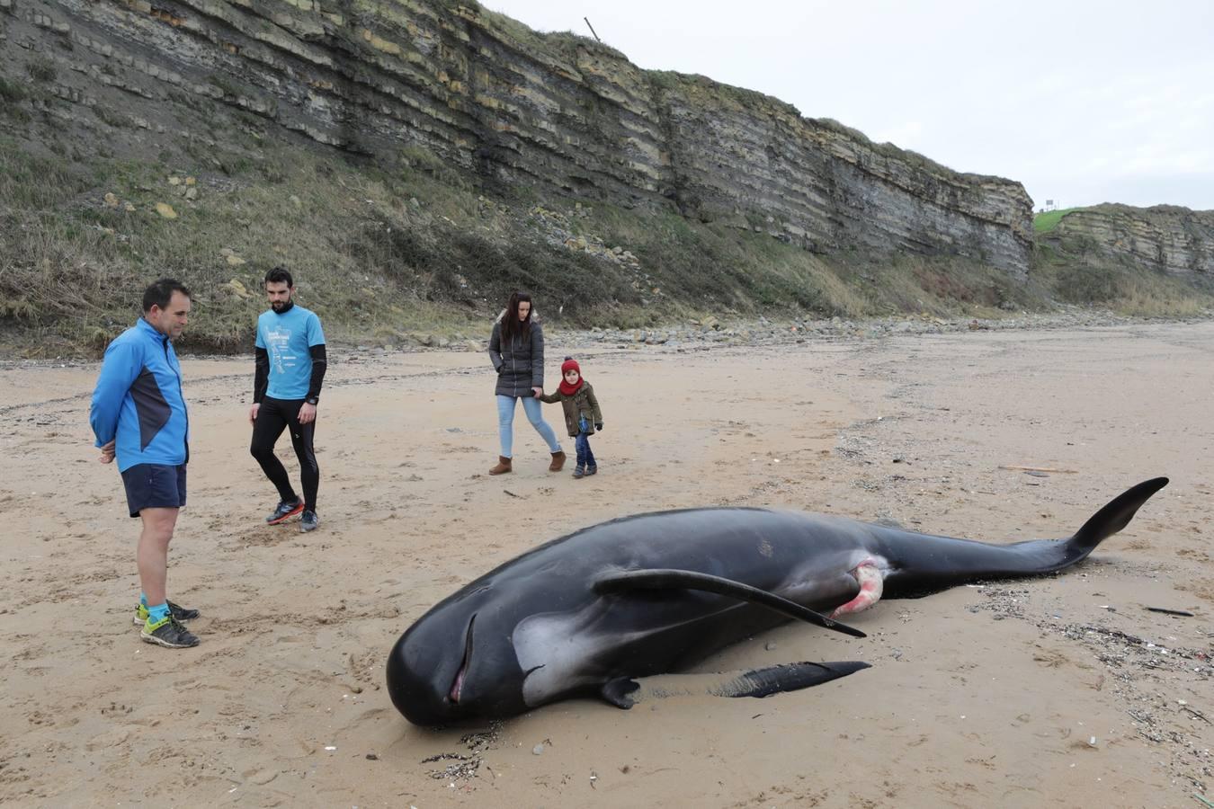 Aparece el cuerpo de un cachalote en la playa de Langre