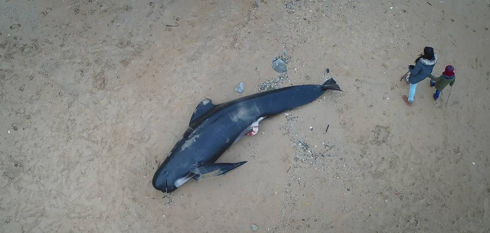 Aparece el cuerpo de un calderón en la playa de Langre