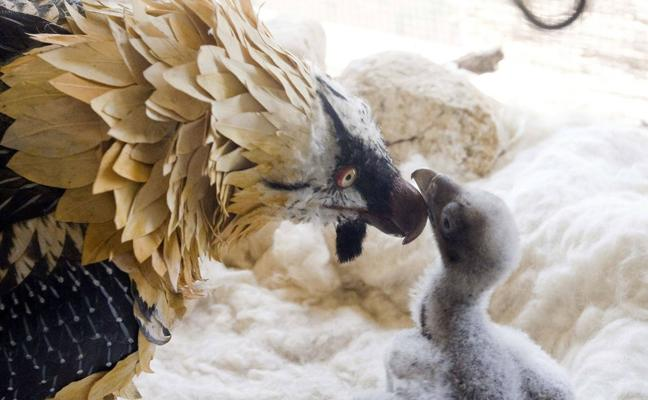 Una pareja de quebrantahuesos incuba en Picos de Europa