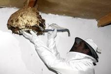 Los apicultores advierten de que la situación de la avispa asiática en Cantabria es muy grave