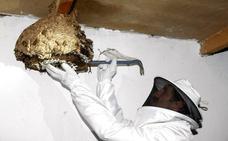 Meruelo instala cuarenta trampas para combatir la avispa asiática