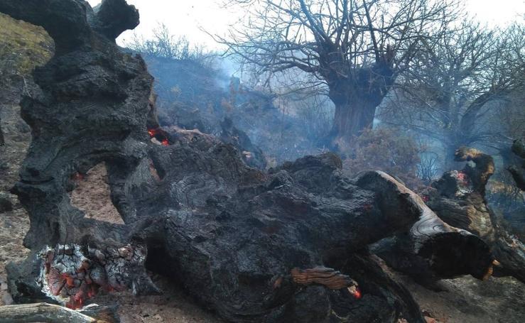 Incendiados dos castaños centenarios en El Habario