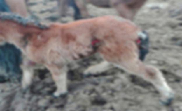 Los lobos ponen en jaque a los ganaderos de Arenas de Iguña