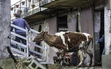 El juez requisa a un ganadero de Gama 23 vacas «por su estado de abandono»