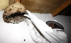 Una empresa instalará trampas en Torrelavega para erradicar la avispa asiática