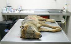 Ecologistas en Acción recurrirá el protocolo de regulación del lobo en Picos de Europa