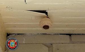 Los bomberos retiran un nido de avispa asiática en el centro de Santander