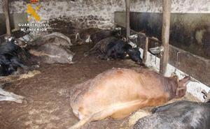 Detenido un vecino del ganadero de Bielva como presunto autor de la muerte de sus vacas y otros sabotajes