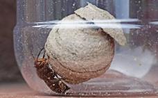 Capturadas 350 avispas asiáticas reina en Noja