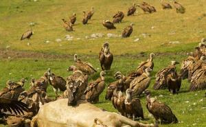 Los daños causados por la fauna salvaje le cuestan al Gobierno de Cantabria 470.000 euros