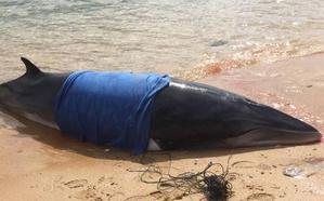 Trece delfines muertos fueron recogidos en las playas de Cantabria desde marzo
