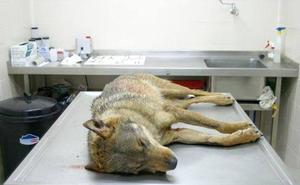 Los jueces endurecen las condiciones para matar lobos