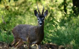 Investigado un cazador cántabro por matar sin autorización un corzo en un coto de Palencia