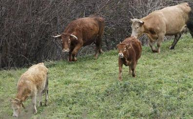 Aumentan más de un 350% los casos de brucelosis en Cantabria