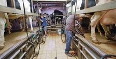 Medio Rural pagará casi un millón de euros a 689 ganaderos cántabros con vacas de leche