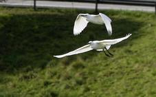 Peligro: garcillas volando