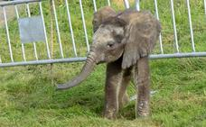 Doce 'nodrizas' para criar a una elefanta