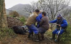 Los terneros de Bielva recibieron una inyección letal en la yugular