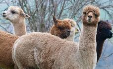 El TSJC confirma la paralización cautelar de una supuesta nave de alpacas en Ubiarco