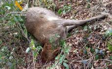 Detenido un cazador furtivo que decapitó a un venado en Ucieda para llevarse su cornamenta