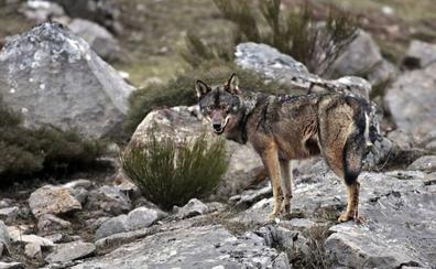 El Patronato de Picos da el visto bueno al sacrificio de lobos dentro del Parque
