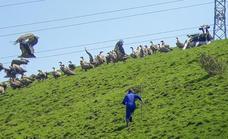 Dos vecinos de Beranga ahuyentan a una bandada de buitres que acorralaba a una vaca herida