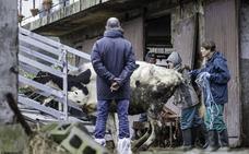 Podemos lleva al Parlamento el sacrificio de las 23 vacas de Gama