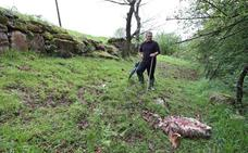Los lobos matan a dos ovejas en una finca de Ucieda junto a la carretera