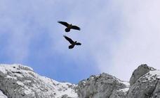 Siete quebrantahuesos serán liberados en los Picos de Europa
